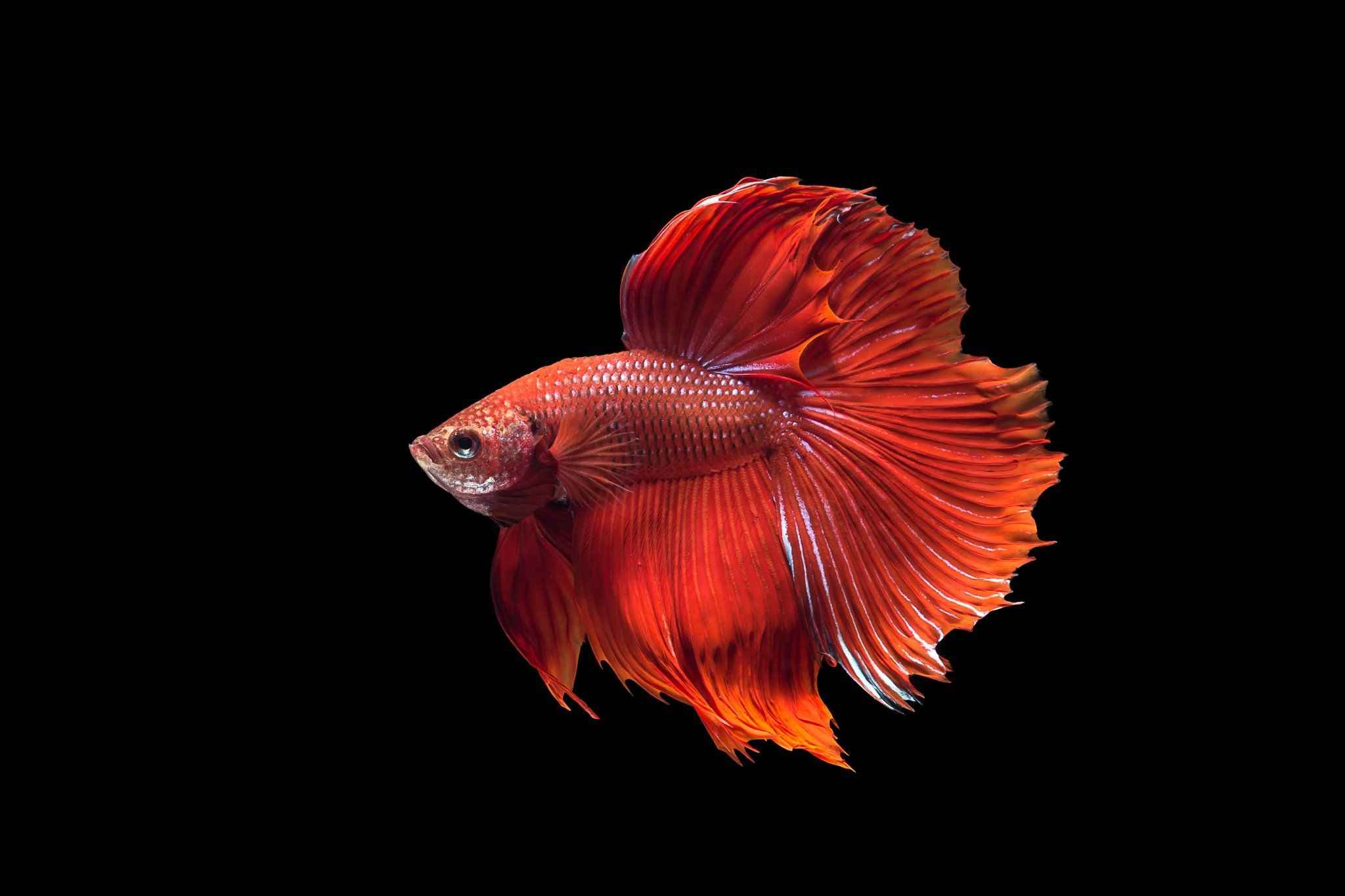 Betta Fish Care Guide: Types, Food, Tank Size, Breeding Tips, and More