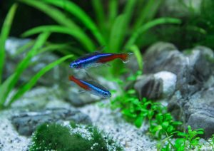 how to breed neon tetras