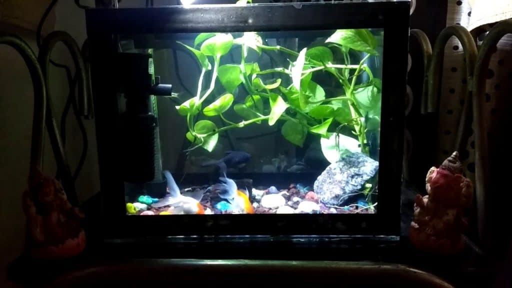 pothos plant in fish aquarium-min